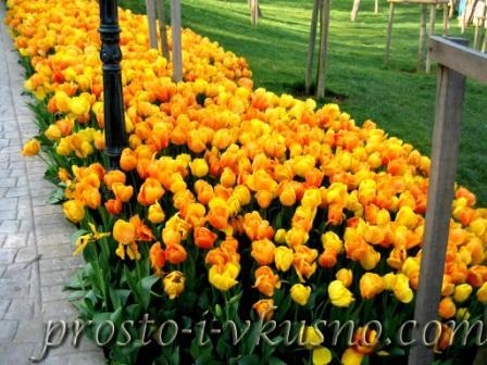 Клумба из желтых тюльпанов