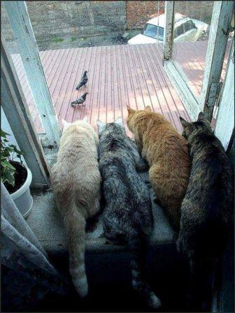 Коты и голуби