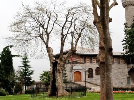 Старое охраняемое дерево во дворе мечети